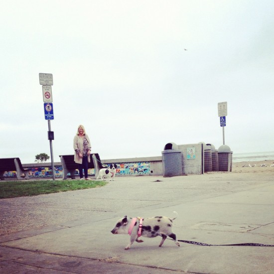 You never know what you're going to see at the beach - a tiny piggy!